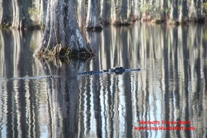 Find the Swimming Alligator