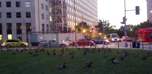Ducks at Sunset in McPherson Square, Washington, DC, October 15, 2011
