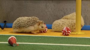 Hedgehog Cheerleaders