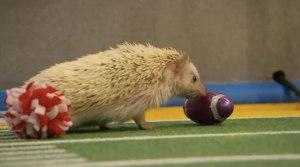 Hedgehog Cheerleaders