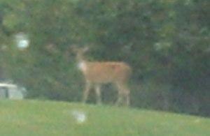 Deer in Rockville, Maryland