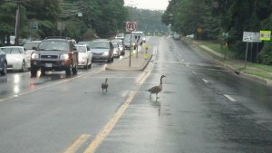 A Gaggle of Geese Crossing the Street in Rockville, Maryland