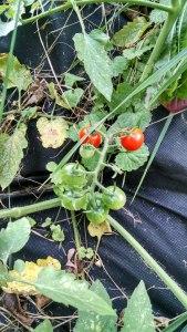 4-tomato