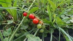 5-tomato