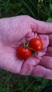 6-tomato